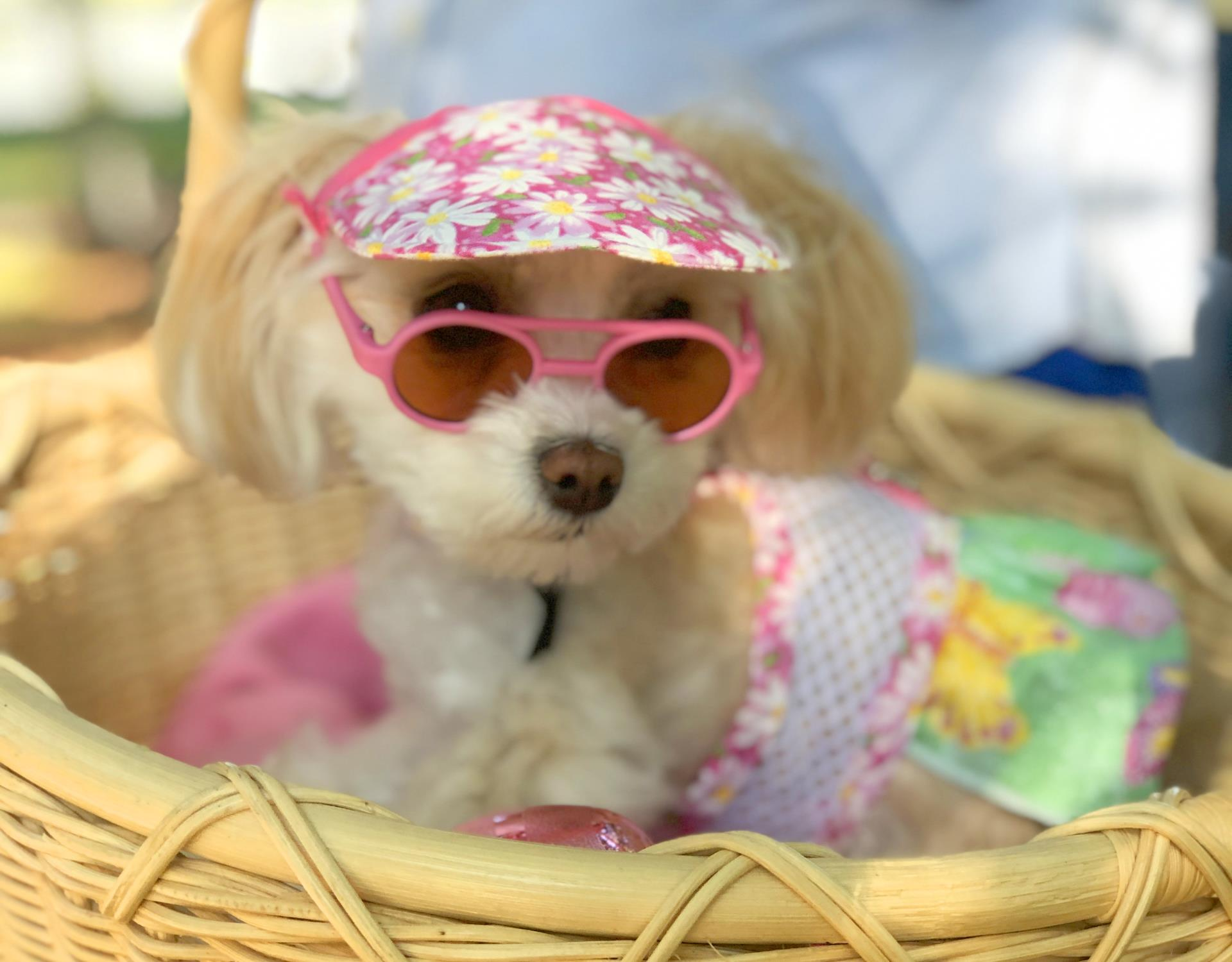 Small dog dressed up with hat and sunglasses in a wicker basket